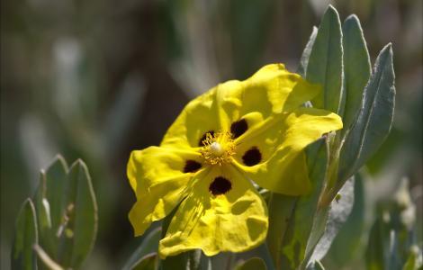 """Halimium halimifolium PCU11-D067"" by Sarah Gregg Petriccione is licensed under CC BY-NC-SA 2.0"