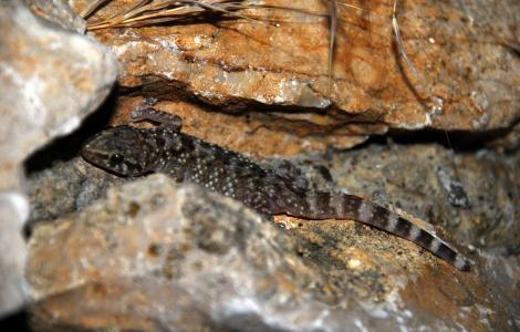 Hemidactylus turcicus (foto Fabio Cherchi per il Parco Molentargius)