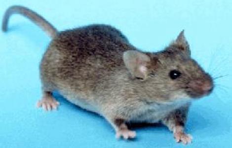 topo comune (wikimedia)