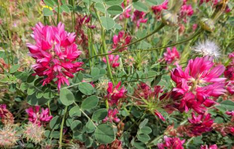 fioritura di Sulla, maggio, sulla Giara (foto Alessio Saba)