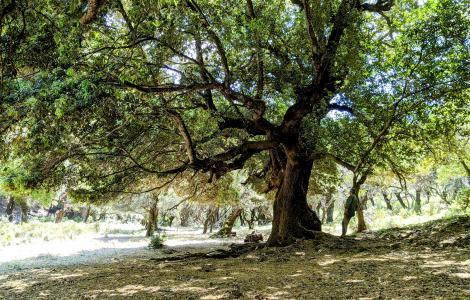 L'imponenza degli alberi di Tuviois (foto A.Saba)