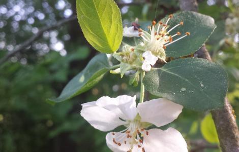 """Malus dasyphylla sl36.jpg"""" by Stefan.lefnaer is licensed under CC BY-SA 4.0"""
