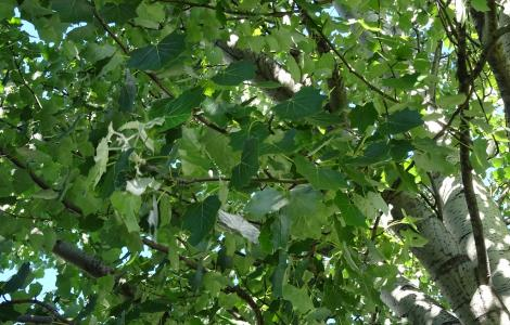 Populus canescens, Salicacées by olive.titus is marked with CC PDM 1.0