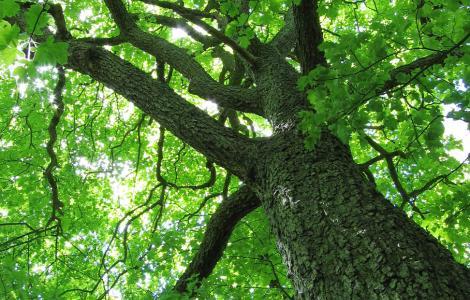 Sorbus Torminalis (foto Andrew Dunn CC BY-SA 2.0)