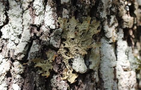 Lichene (foto Gianfranco Cossu) 3
