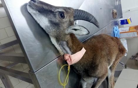 il muflone in terapia intensiva appena soccorso