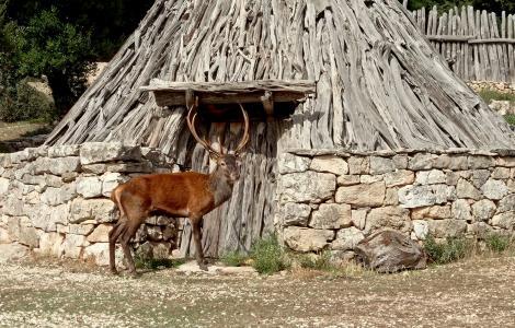 Cervo a Sa Portiscra, Urzulei (foto Forestas)