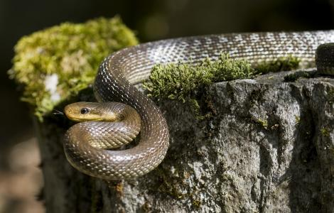 Zamenis_longissimus (foto di FelixReimann, WIKIMEDIA CC BY SA)