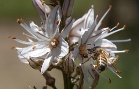 Pranu fioritura Asfodelo (foto Mario Cossu)