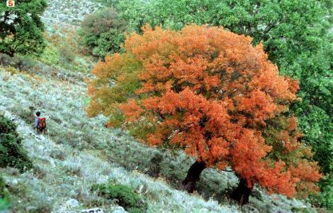 Gennargentu, acero minore in autunno (D.Ruiu)