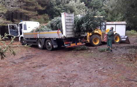 albero natalizio prelevato in boso