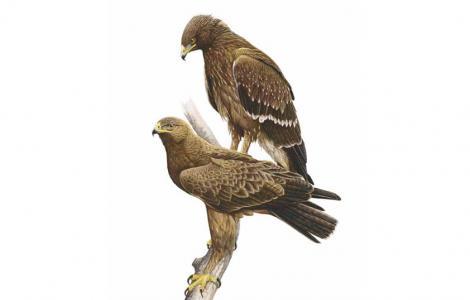 Aquila Anatraia minore (da IUCN.it)