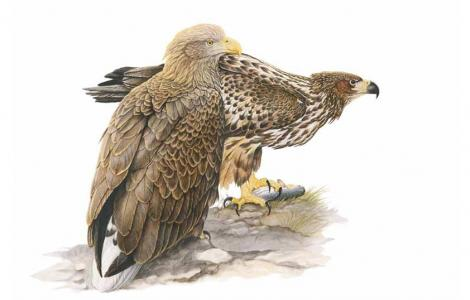 Aquila di Mare (da IUCN.IT)