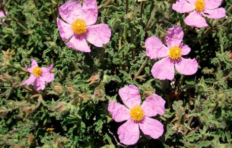"""""""Cistus Creticus"""" by dragon-lady is licensed under CC BY-NC 2.0"""