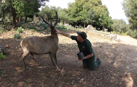 Cervo sardo ed operatore faunistico Agenzia Forestas di Urzulei