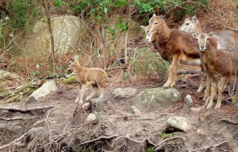 famiglia di mufloni sul Limbara (foto R.Serra).jpg