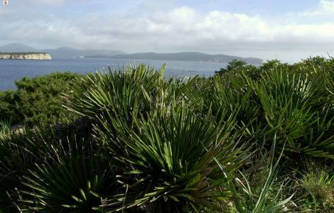 Capo Caccia, Porto Conte: palma nana