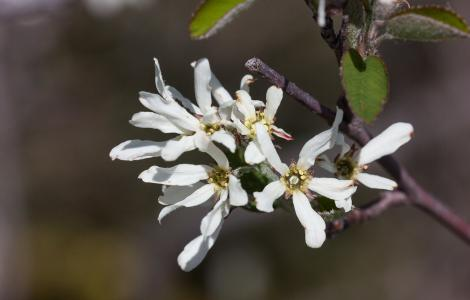 """""""Amelanchier ovalis MC060514-S003"""" by Sarah Gregg 