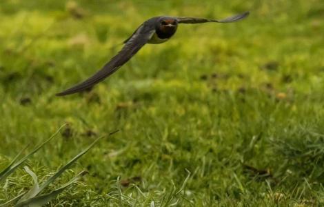 rondine in volo (foto C.Mascia)