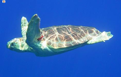 tartaruga marina (foto Digital Library RAS)