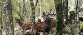 Cervo sardo in Bramito
