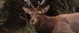 Neoneli, esemplare di cervo maschio con formazione del palco