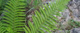 polysticum setiferum