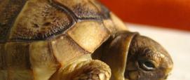 Tartaruga greca della Sardegna - foto digital Library