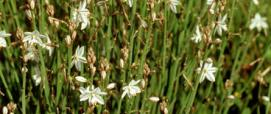 fioritura di asfodelo
