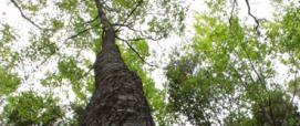 Carpino nero presso la Foresta di Montarbu