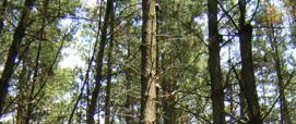 perticaia di Pinus radiata, dettaglio