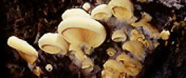 Phyllotopsis nidulans