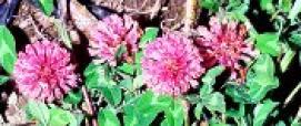 Trifolium pratense  (ph: G. Lai)