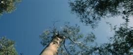 Eucalipto rostrato, foto da Digital Library
