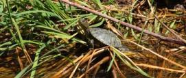 Tartaruga d'acqua presso il laghetto artificiale di Badde Tolta, Monte Lerno