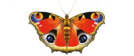 Vanessa Io o Occhio di pavone (Inachis io)