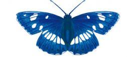 Silvano azzurro (Limenitis reducta)