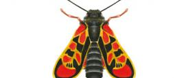 Zigena (Zygaena orana)
