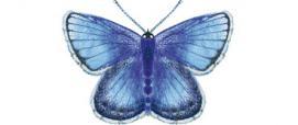 Icaro o Argo Azzurro (Polyommatus icarus)