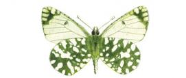 Cavolaia isolana (Euchloe insularis)