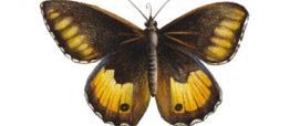 Satiro corsicano (Hipparchia neomiris)