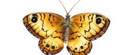 Tigelio (Lasiommata paramegaera)
