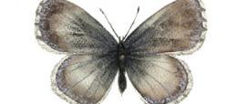 Argo barbaricino (Pseudophilotes barbagiae)