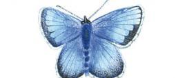 Argo corsicano (Plebejus bellieri)
