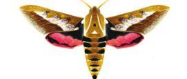 Sfinge dell'euforbia sarda (Hyles dahlii)