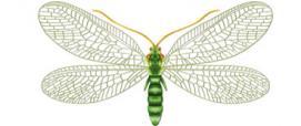 Crisopa (Chrysopa formosa)