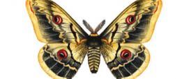 Saturnia del pero o Pavonia maggiore (Saturnia pyri)