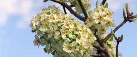 Perastro - fioritura