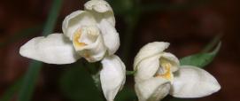 Cephalanthera_damasonium_foto Wikimedia di Bernd Haynold