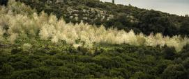 Ciliegi presso area di  miglioramento pascolo in località Coili de Magiali (Gairo, foto C.Mascia)